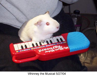Guinea pig agility trick training whinneyplayingpiano2 5 27 04g guinea pig tricks publicscrutiny Image collections